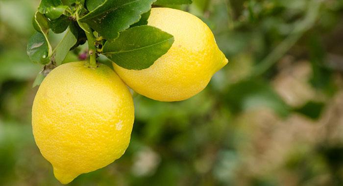 limoni-primofiore-acquista-online-agricola-giardina